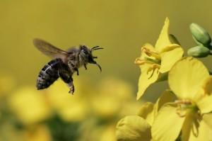 rzepak pszczola